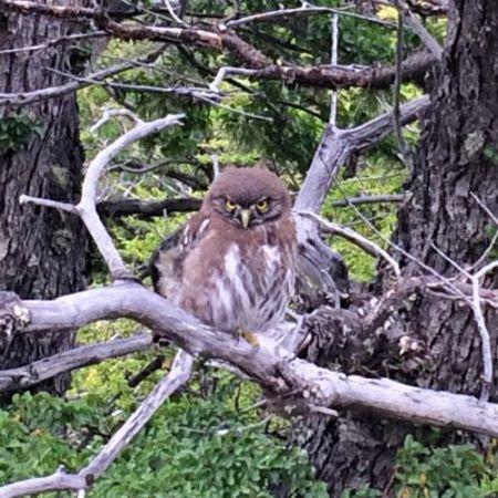 AustralPygmyOwl