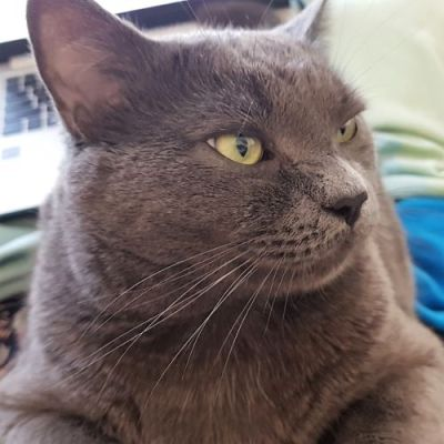 A fat silver cat with yellow eyes looking to the side. A laptop is visible in the background.
