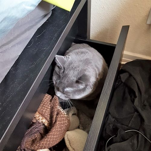 The head of a chubby grey cat pokes out of an open drawer. A brown scarf and socks are visible inside the drawer.