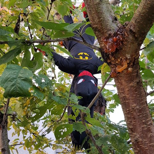 A Spiderman plushie dressed in a homemade Batman costume hangs upside-down in a deciduous tree.