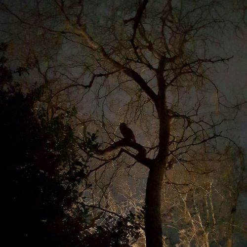 A grainy silhouette of an owl perched in a tree.