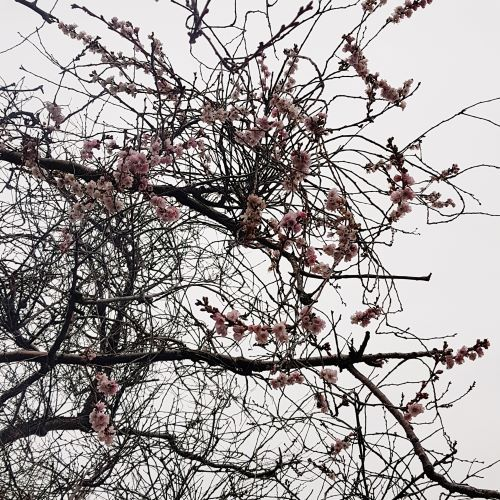 Tree branches devoid of leaves have blooms of pink cherry blossoms.