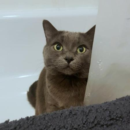 A grey cat with large pupils stares at the person standing behind the camera from inside a bath tub.