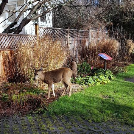 Two female deer eating plants at the side of a yard.