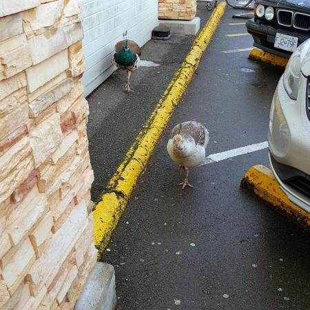 A peacock and a peahen are seen walking towards the camera, in front of a row of parked cars. The peahen, who is light coloured, is in front of the peacock.