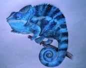 A coloured pencil drawing of a blue chameleon with three of its limbs gripping a branch.