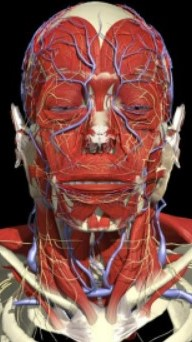 CGI model showing the blood vessels of the face.