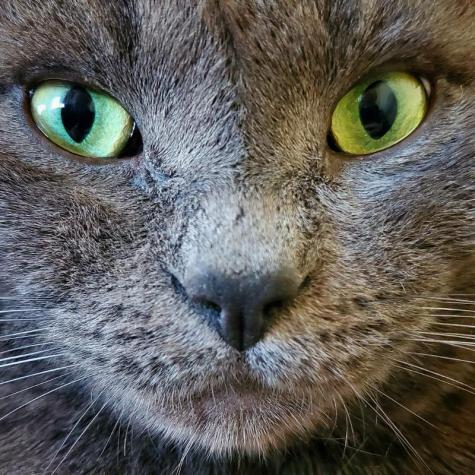 A close-up of a gray cat with yellowish green eyes staring straight at the camera.