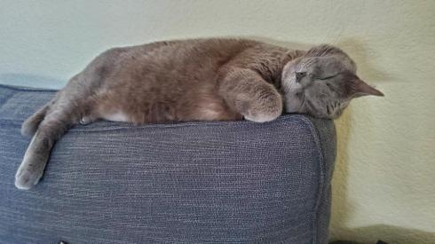 A chubby gray cat lies sideways on the top of a sofa cushion. One leg dangles over the cushion. His head is tilted in a way that one ear is tucked underneath his head, between the sofa cushion.