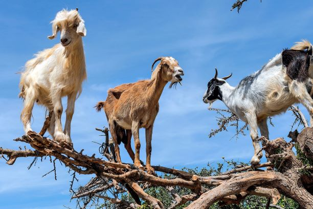 Three goats stand on a large tree branch.